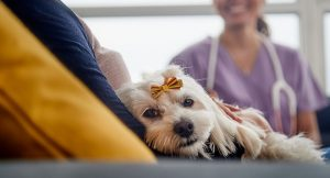 Dog laying on owners lap 300x162 - Dog-laying-on-owner's-lap