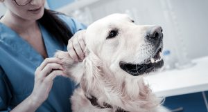 Vet checking dogs ears 300x162 - Vet-checking-dog's-ears